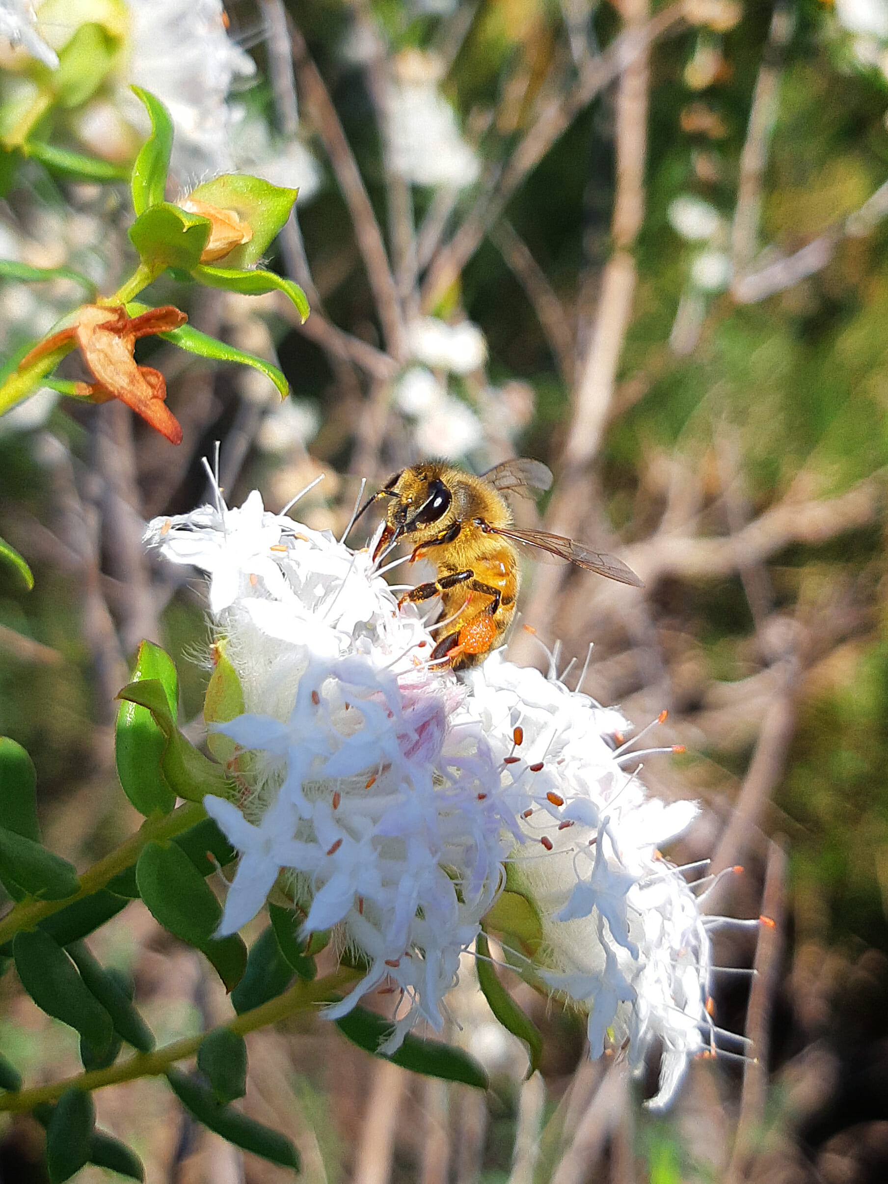Honey bee Off the beaten track wa